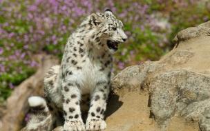 Fondo de pantalla leopardo blanco