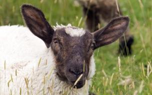 Fondo de pantalla oveja comiendo