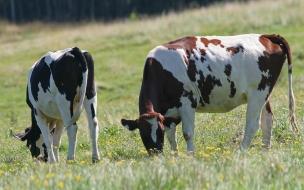 Fondo de pantalla vacas comiendo