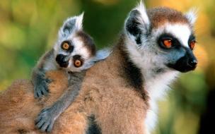 Lemurs con su Madre