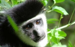 Monkey colobus images wildlife animals wallpapers