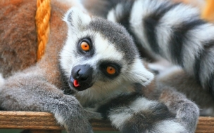 Fondo de pantalla lemurs jugando