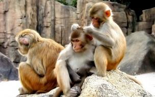 Fondo de pantalla monos cansados
