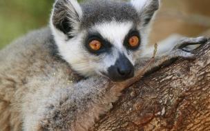 Fondo de pantalla lemurs mirando
