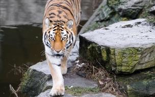Fondo de pantalla tigre en riachuelo