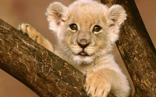 Free wallpaper animal cub lion