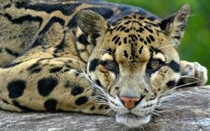Fondo de pantalla de leopardo descansando