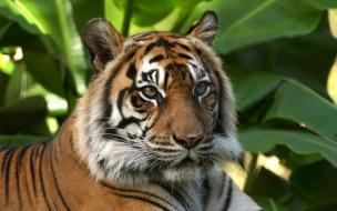 Fondo de pantalla tigre tranquilo