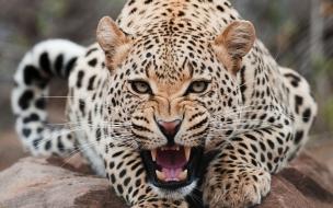 Fondo de pantalla leopardo atacando