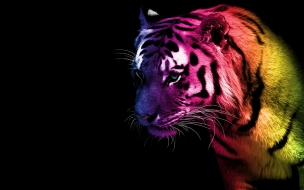 Tiger wallpaper animal bengal funny
