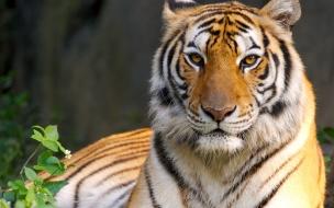 Fondo de pantalla mirada de tigre
