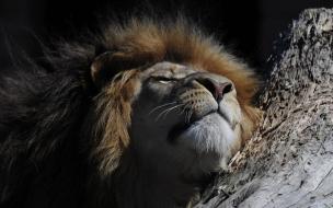 Fondo de pantalla leon durmiendo