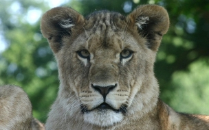 Fondo de pantalla leon joven