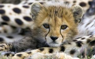 Fondo de pantalla bebe guepardo