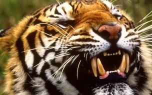 Fondo de pantalla tigre rugiendo