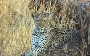 Fondo de pantalla leopardo esperando