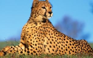 Fondo de pantalla guepardo observando
