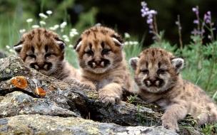 Fondo de pantalla guepardos bebes