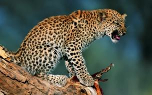 Fondo de pantalla leopardo bravo