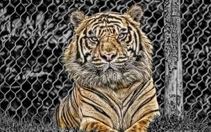 Fondo de pantalla tigre encerrado