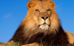 Lion brave animal wallpapers