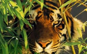 Fondo de pantalla tigre escondido