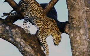 Fondo de pantalla jaguar bajando de un arbol