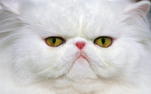 Fondo de pantalla gato persa