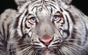 Fondo de pantalla tigre blanco con ojos azules
