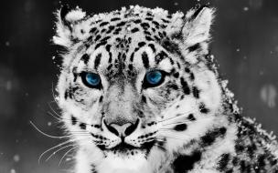 HD Animals wallpapers Snow Blue Eye Leopard