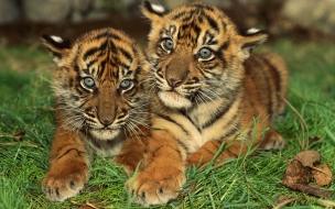 Fondo de pantalla tigres bebe acostados