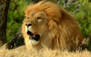 Fondo de pantalla leon grande rugiendo