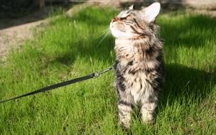 Fondo de pantalla gato con correa
