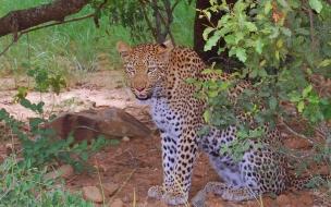 Fondo de pantalla leopardo bajo un arbol