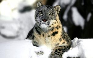 Fondo de pantalla leopardo en la nieve