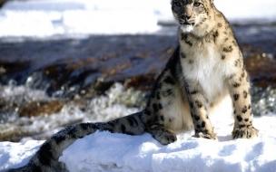 Fondo de pantalla guepardo en nieve