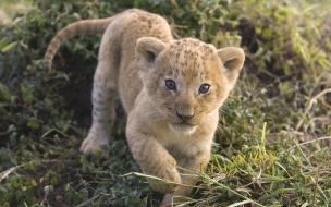 Fondo de pantalla tigre bebe