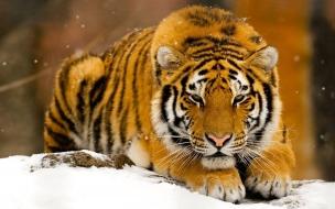 Fondo de pantalla tigre acostado en nieve