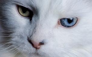 Fondo de pantalla gato con ojos de 2 colores
