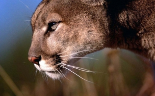 Fondo de pantalla Puma viendo a la presa