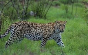 Fondo de pantalla leopardo listo para atacar