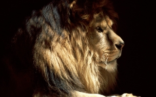 Fondo de pantalla pintura de leon