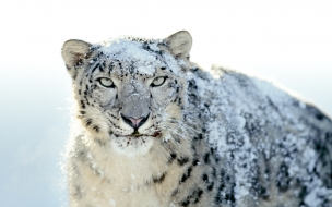 Fondo de pantalla Leopardo con nieve