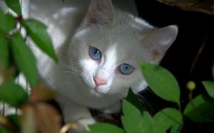 Fondo de pantalla gato blanco escondido