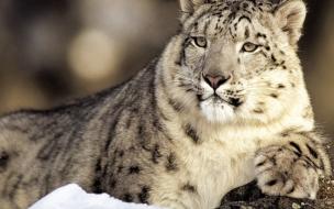Fondo de pantalla tigre blanco esperando