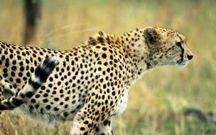 Fondo de pantalla gepardo cazando