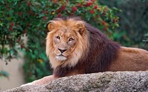 Fondo de pantalla de leon en una roca