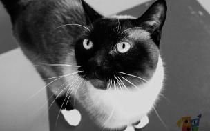 Fondo de pantalla gato gris con blanco