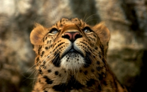 Fondo de pantalla leopardo mirando el cielo