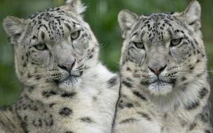 Fondo de pantalla tigres blancos hermosos